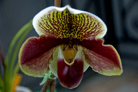 orchid-lizwelch-3108